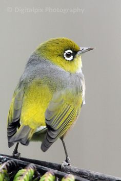 Shutterclicks - silvereye Pretty Birds, Beautiful Birds, Animals Beautiful, Cute Animals, Tiny Bird, Kiwiana, Australian Birds, Bird Pictures, Little Birds