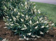 Summersweet (Clethra alnifolia) 'Hummingbird' --- fragrant white flower spikes attract butterflies. Compact habit makes it good for small gardens. Effective in mass, mixed into perennial borders or along foundations. Grows well in wet areas.
