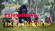 Top 8 family-friendly dog breed – Let All Dogs Find Their Way Home Custom Dog Collars, Dog Collars & Leashes, Dog Leash, Family Friendly Dogs, Friendly Dog Breeds, Dog Collar With Name, Dog Collar Tags, Corgi Breeds, Dog Training Classes