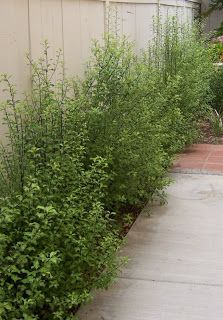 The 2 Minute Gardener: Photo - Silver Sheen Pittosporum (Pittosporum tenuifolium 'Silver Sheen') Back yard fence?