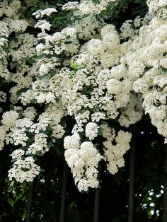 Spirea: delicate foliage and cascading branches of white or pink spring flowers are two traits that earn this deciduous shrub its rightful place in the mixed border. A beautiful flowering companion for spring bulbs, the bridal wreath spirea is a traditional favorite. Grows up to 6' tall in full sun. Zones 5-9
