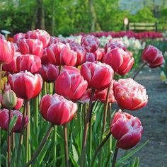 Die Tulpe 'Drumline' - farbstark, voluminös und preisgekrönt - online bestellbar bei www.fluwel.de