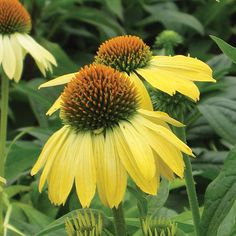 Just planted some of these in my butterfly garden...8-5-2013 Echinacea 'Sunrise' (Coneflower) - Fine Gardening Plant Guide
