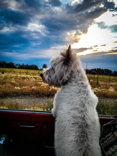 westie (West Highland White Terrier) out for a ride
