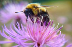 Bumble Bee on Thistle
