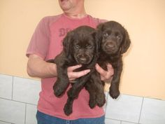 pictures of miniature labradors | Labrador X Mini Poodle Chocolate Puppies