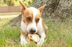 Scout's Honor Rescue | Chevy is available for adoption in Houston Texas!