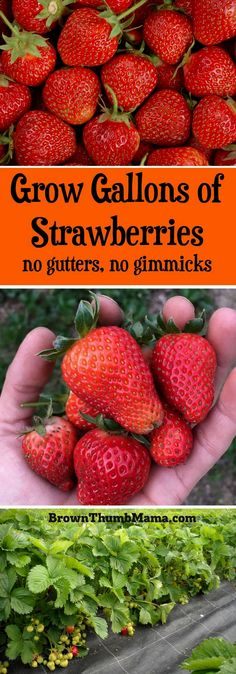 Grow Gallons of Strawberries Grow Gallons of Strawberries,Gardening Strawberries are super-easy to grow using these important tips. Here's everything you need to know to grow gallons of in your Related posts:Grüne Garten-Ideen. Organic Vegetables, Growing Vegetables, Growing Plants, Growing Tomatoes, Strawberry Garden, Fruit Garden, Box Garden, Garden Pots, Garden Table