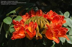 Bloom for June 12, 2012: African Tulip Tree (Spathodea campanulata). Photo by Kiyzersoze