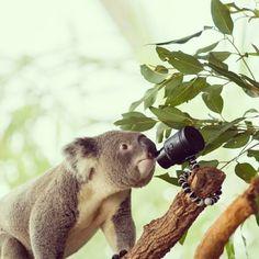 Selfie safari #KoalaQXselfie