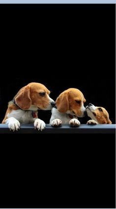 Are you interested in a Beagle? Well, the Beagle is one of the few popular dogs that will adapt much faster to any home. Whether you have a large family, p Cute Beagles, Cute Puppies, Dogs And Puppies, Pet Dogs, Dog Cat, Pets, Baby Animals, Cute Animals, Beagle Puppy