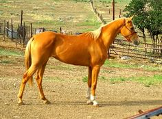 Chenaran (Tchenaran) horse. Cross between Straight Iranian (Persian Asil / Kurdish / Darashouri) stallion and Turkoman mare. Curiously, crossing a Turkoman stallion onto a Straight Iranian mare does not produce a foal of such high caliber, and for this reason the opposite cross is always used.