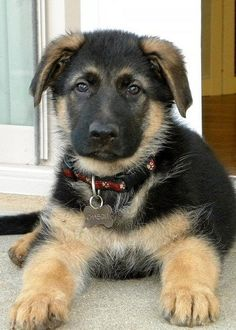 German Shepherd Puppy! I'm trying to hint this to my mom..