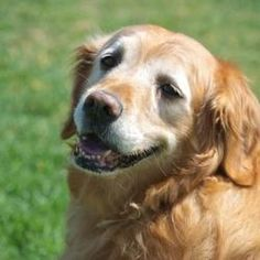 Sugar has been adopted! This is Sugar - 10 yrs. She is spayed, current on vaccinations, potty trained & prefers a home with no young kids. She is new to rescue & settling into foster. She will be looking for a forever home & is at Golden Retriever Rescue of the Rockies, CO.