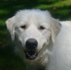 This large, sweet puppy loves to play and adores her humans. She is still a puppy in most aspects and does not have all her manners quite ye...