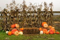 Pumpkins, hay, and cornstalks on display at Two Brothers Pumpkin Patch Carnation, Washington Halloween Mini Session, Halloween Fotos, Fall Halloween, Fall Family Pictures, Fall Photos, Fall Pics, Fall Photo Booth, Fall Carnival, Fall Mini Sessions