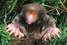 Study Shows That Moles Can Smell In Stereo | Popular Science