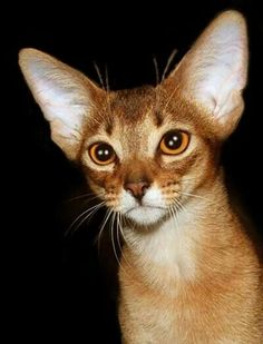 the Beauty of the Abyssinian