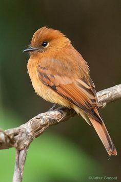 Cinnamon Flycatcher - Pyrrhomyias cinnamomeus - found in South America Cute Birds, Pretty Birds, Small Birds, Colorful Birds, Little Birds, Beautiful Birds, Nature Animals, Animals And Pets, Bird Pictures