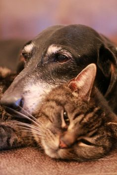 ♥ look at that old doxies face and the cat's too ~ so content with each other.
