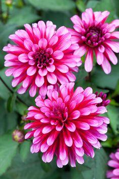 //Dahlia 'Ruby Murray' #flowers
