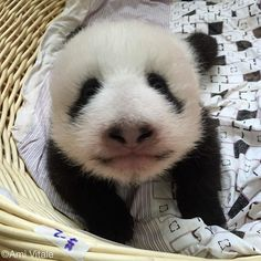Photo by @amivitale #onassignment in China for @natgeo. A baby panda in a basket at the Bifengxia Giant Panda Breeding and Research Center in Sichuan Province. I am in China to document this years bumper crop of baby pandas born at the breeding center. I'm grateful for the rare and exclusive access into the world of pandas. I want to explore how an animal this elusive and rare became so beloved and popular. The giant panda was not known outside of China until 1869; incredible when you think…