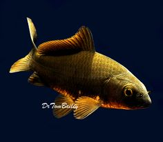Pond comet goldfish for sale at where for Purple koi fish for sale
