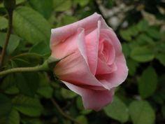 imagenes de rosas hermosas - Pesquisa Google