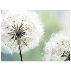 Dandelion Duo Canvas Art Print (€64) ❤ liked on Polyvore featuring home, home decor, wall art, backgrounds, pictures, art, decor, flowers, quotes and scenery