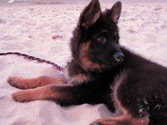 Altdeutscher Schäferhund / German Shepherd Dog Puppy