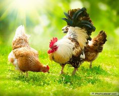 pictures of chickens and roosters | Poultry Farming and Animals with their products. Examples in Pictures