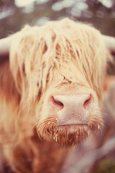 Scottish cow!!