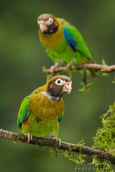 Brown hooded Parrot by Jeff Costa Rica Photography, via Flickr