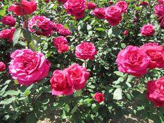 Longwood Gardens 2013 June 2 Red Roses blooming