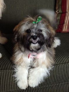 Sophie with her classic Havanese smile!