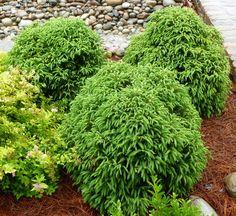 Dwarf Japanese Cedar 'Globosa Nana'