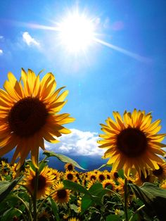 These are Sunflowers.  They grow toward the Sun.  Why do you think they do that?