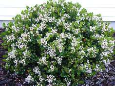 indian hawthorn - Google Search