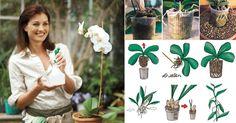 Orchidea+36+cose+fondamentali+da+sapere