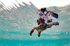 Loggerhead Sea Turtle, Florida. Picture Yourself in Paradise at www.floridanest.com