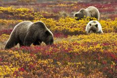 Fall at Denali National Park in Alaska means gorgeous autumn colors and hungry brown bears. To get ready their long winter sleep, bears spend the summer and fall packing on the pounds – gorging themselves on salmon, berries and grass. Sleeping snugly...