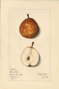 lucrative1.jpg (631×959) Artist: Mary Daisy Arnold. From Geneva Exp. Station, Geneva, New York, October 25, 1913. (= 'Belle Lucrative')