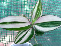 Zebrina-pendula-discolor-multicolor-Wandering-Jew-variegated-plant-3