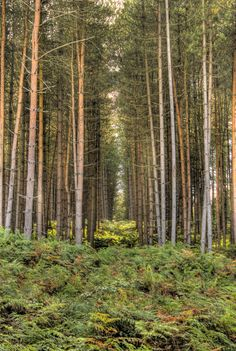 The pine trees, Cannock Chase Forest, Staffordshire, UK.