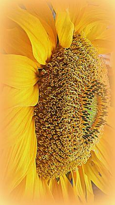 http://fineartamerica.com/featured/sunflower-kay-novy.html #sunflower #floral #yellow #summer #garden #nature