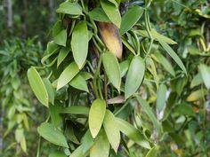 Madagascar Vanilla 091.jpg