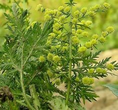 Ez a csodás növény vassal kombinálva megöli az összes rákos sejtet. Artemisia Annua, Getting Rid Of Mucus, Natural Cures, Health And Beauty, Herbalism, The Cure, Essential Oils, Health Fitness, Healing