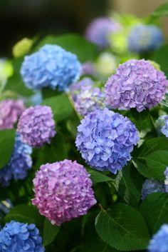 Hydrangeas: True Blue or Tickled Pink?