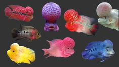 Cichlid Fish, Cichlids, Cool Easy Drawings, Beautiful Tropical Fish, Sunken Eyes, Oscar Fish, Just Fresh, Head Bump, Freshwater Fish