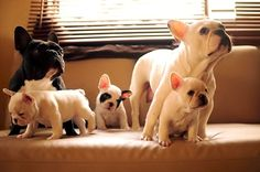 If I were to own a bulldog.a French Bulldog! Too cute! Cute Puppies, Cute Dogs, Dogs And Puppies, Doggies, Bulldog Puppies, Mini Bulldog, Terrier Puppies, Boston Terriers, Bull Terrier